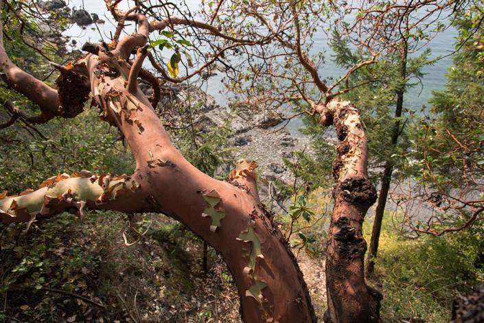 Salt Spring Island Arbutus Tree